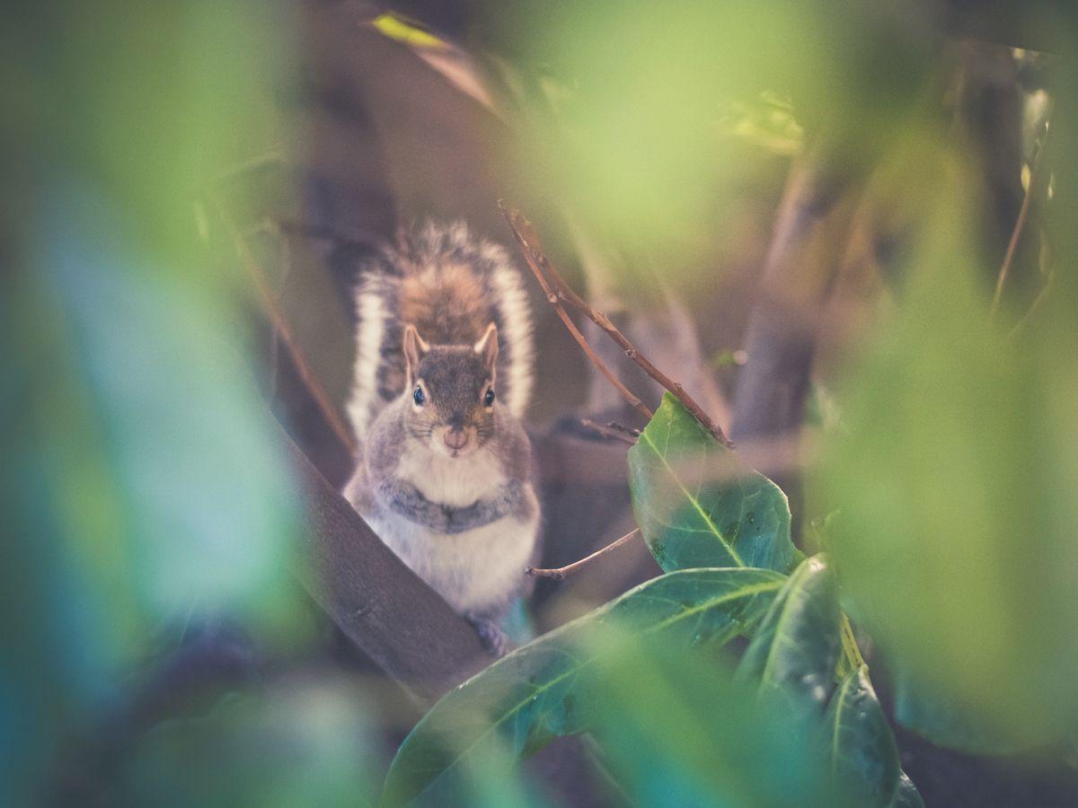 Squirrel spirit animal.