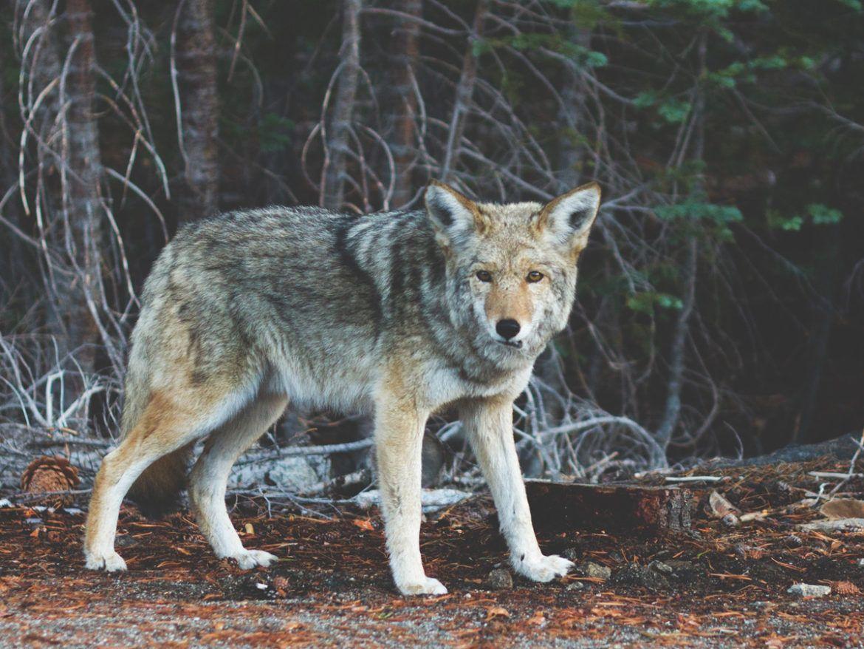 coyote-medicine_